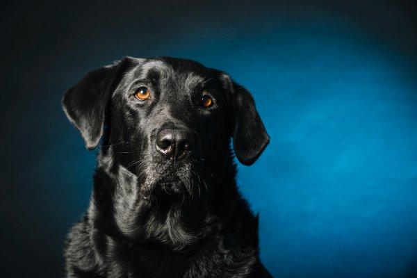 לברדור - כל מה שרציתם בכלב